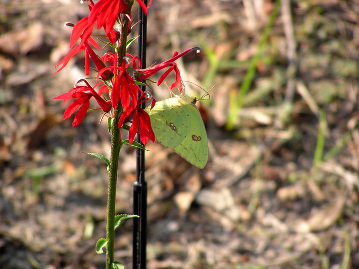 Cloudless Sulphur on Cardinal Flower