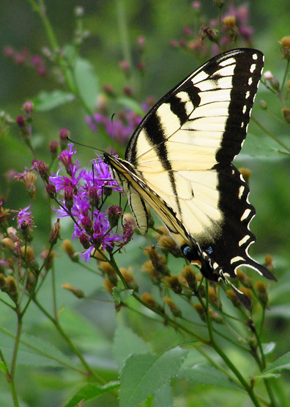 Eastern Tiger Swallowtail on Ironweed